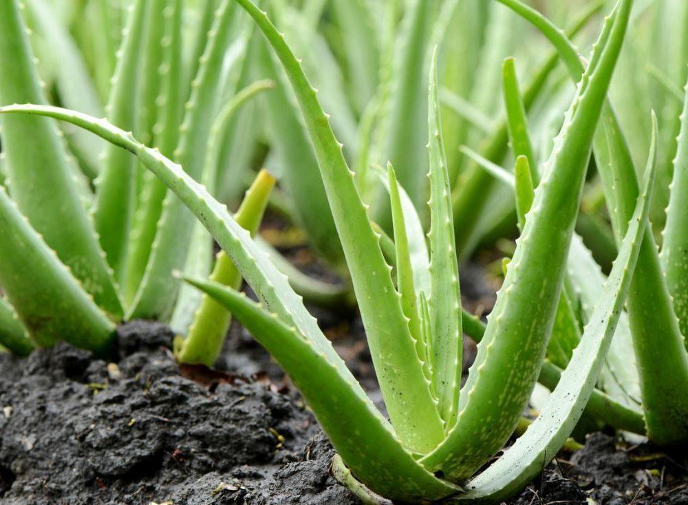 Aloe vera y enfermedad de Crohn ¿una solución natural y efectiva